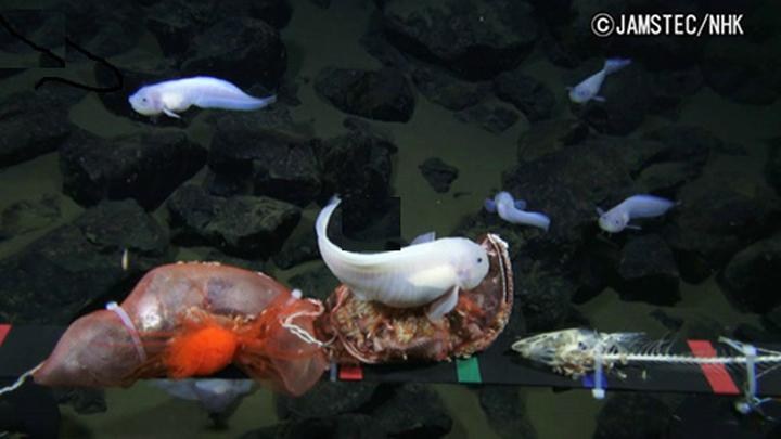 Кадр из видео, снятого в Марианской впадине на глубине 7498 метров.
