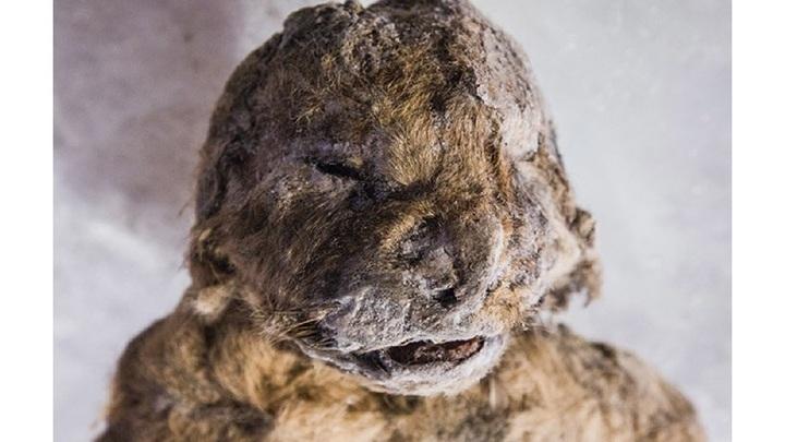 Детёныш пещерного льва на момент смерти был не старше двух месяцев.