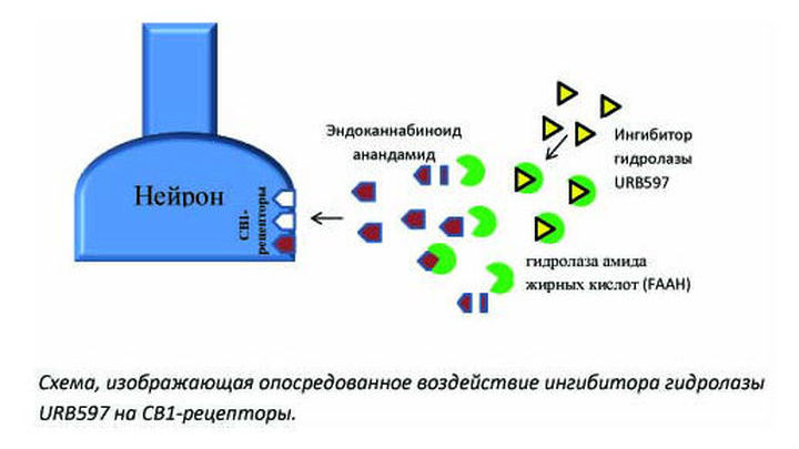 Схема, изображающая опосредованное воздействие вещества URB597 на нужные рецепторы.