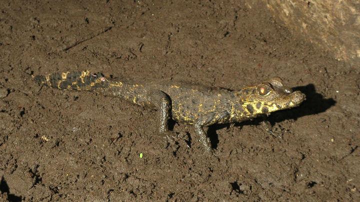 Карликовые крокодилы редко вырастают даже до полутора метров.