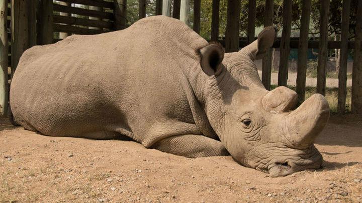 Учёные намерены обратиться к процедуре ЭКО, чтобы спасти популяцию этих носорогов.