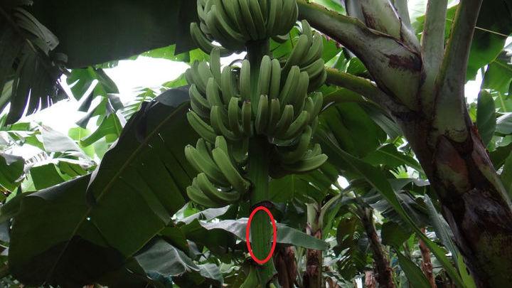 На фото выделен главный стебель банана, который и добавляют в мороженое.