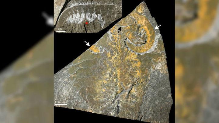 Окаменелости кембрийского хищника Anomalocaris canadensis из группы Euarthropoda. Вверху слева фронтальный придаток, показывающий сегментацию. Внизу справа полный образец тела. Белыми стрелками показана пара передних придатков, чёрной √ рот животного.