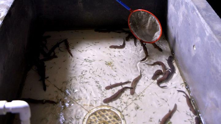 Исследователи обеспокоены, что в результате вымирания диких популяций мир может потерять не один вид гигантской саламандры, а сразу пять.