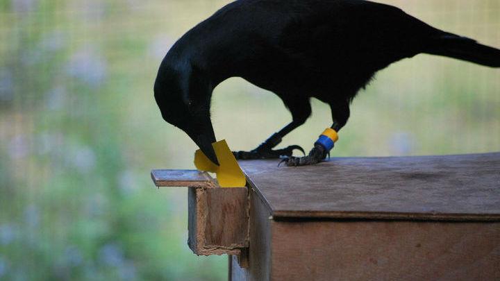 Вороны в очередной раз доказали, что отличаются умом и сообразительностью.
