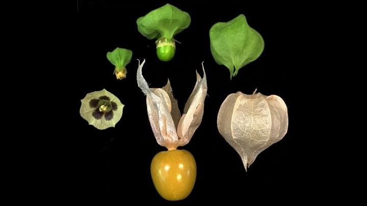 При помощи инструментов генной инженерии учёные повысили урожайность физалиса и увеличили размер плодов.