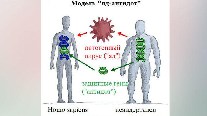 """Модель """"яд-антидот"""" применительно к неандертальцам и Homo sapiens."""