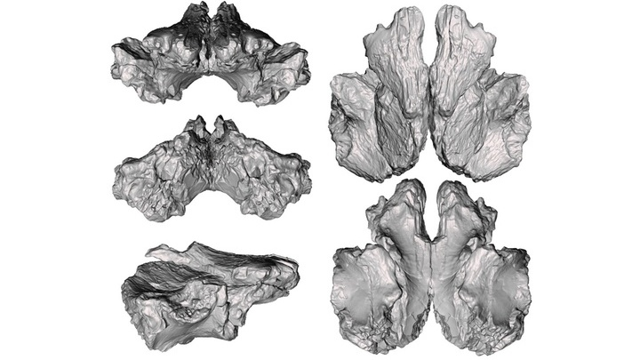 3D-модель костей D. dynastes.