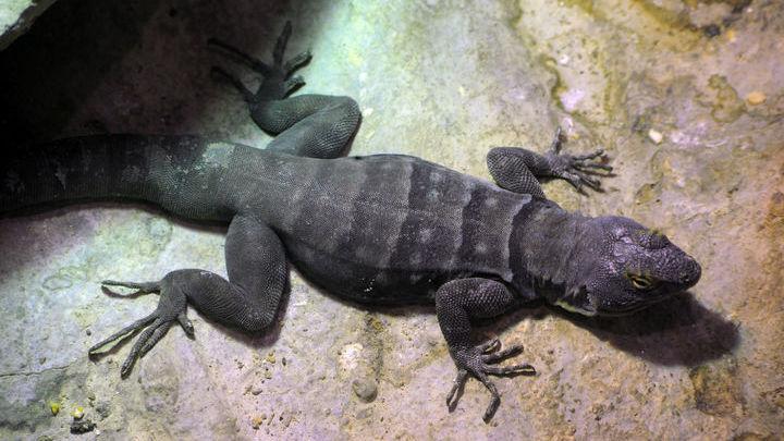 Картина быстрого сна может больше разниться у двух рептилий больше, чем у человека и ящерицы.