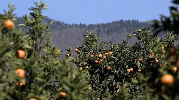 Солнечные фрукты к новогоднему столу: Абхазия собирает урожай мандаринов