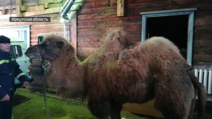 ДТП в Иркутской области: местные полицейские спасли верблюда Славика