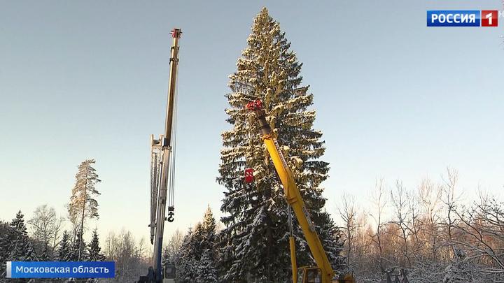 Самая красивая и пушистая: в Подмосковье срубили 100-летнюю елку для Кремля
