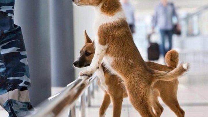 В аэропорту Италии служебных собак научили искать пассажиров с коронавирусом