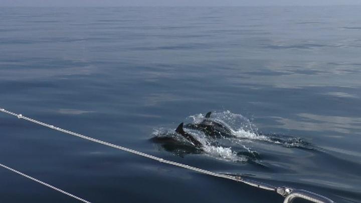 Ученые Российской Академии наук в этом году проведут аэронаблюдение за дельфинами в Чёрном море