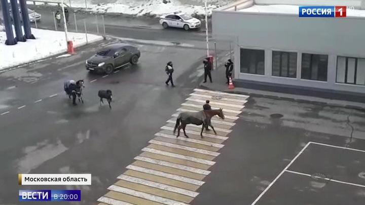 """Съемочная группа """"России 1"""" узнала, что за лошади устроили переполох на Минском шоссе"""