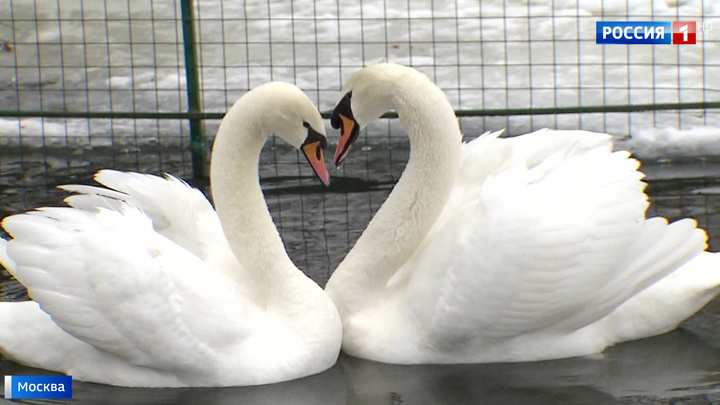 В Троицке спасли юных лебедей