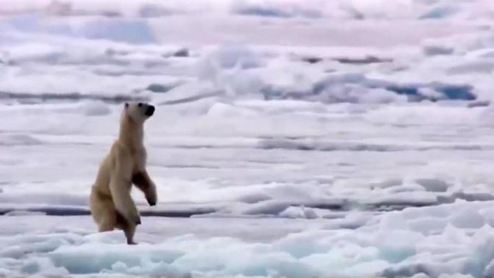 Белые медведи терроризируют поселок в Архангельской области