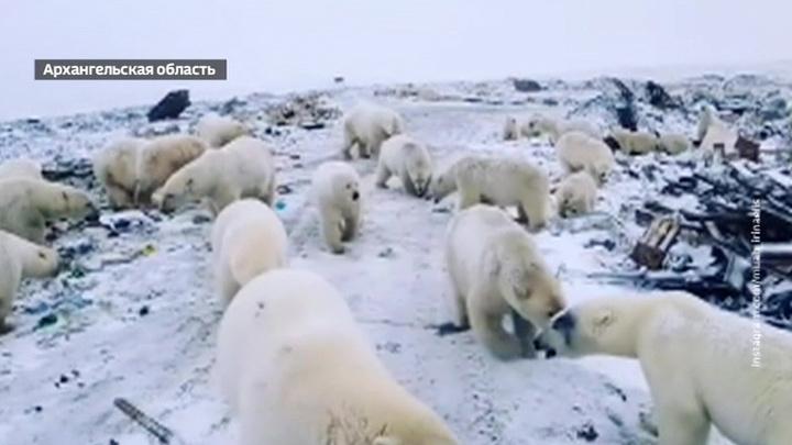 Люди отстаивают территорию: белых медведей прогоняют с Новой Земли