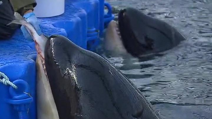 """Освободите Вилли! Десятки белух и косаток продолжают томиться в """"китовой тюрьме"""""""