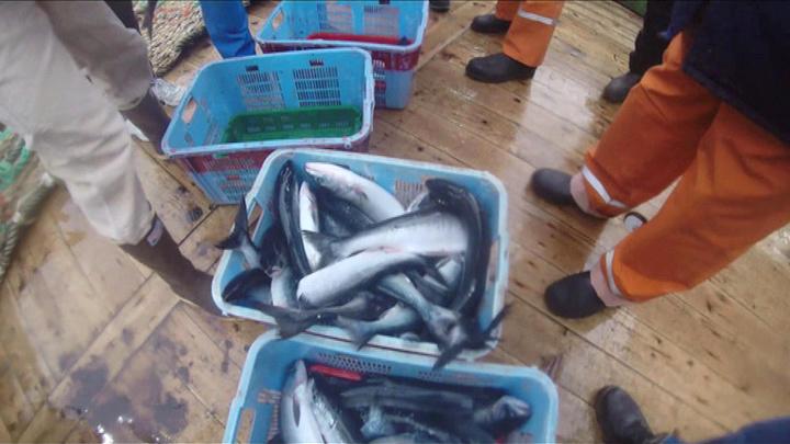 """""""Профессор Кагановский"""" завершил изучение лососевых у побережья Канады"""