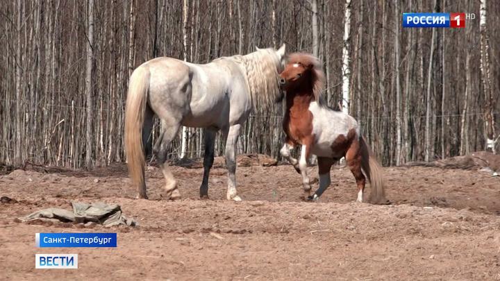 Петербургский спектакль исполнят лошади