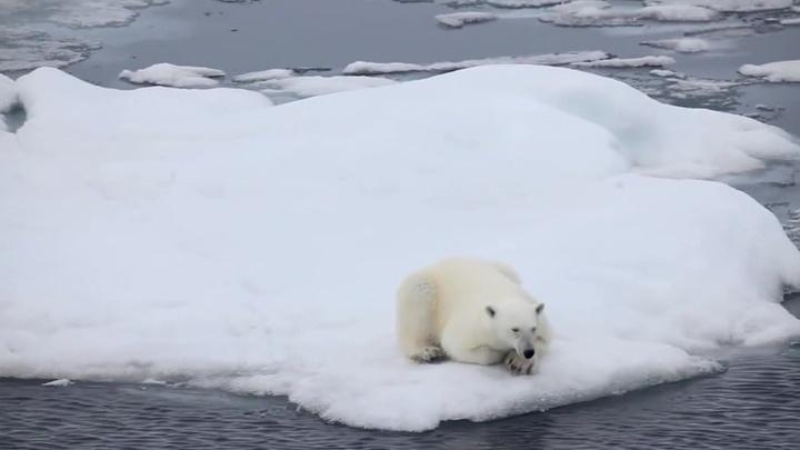 В Камчатском крае спасают белого медведя по прозвищу Умка