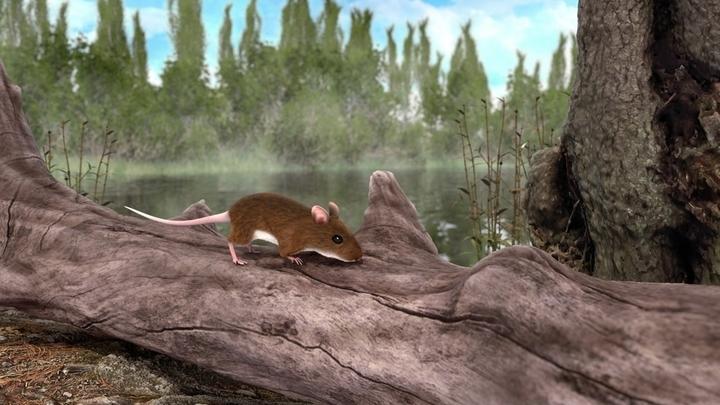 Мышь Apodemus atavus в представлении художника. Учёные установили, каким был окрас млекопитающего возрастом три миллиона лет.