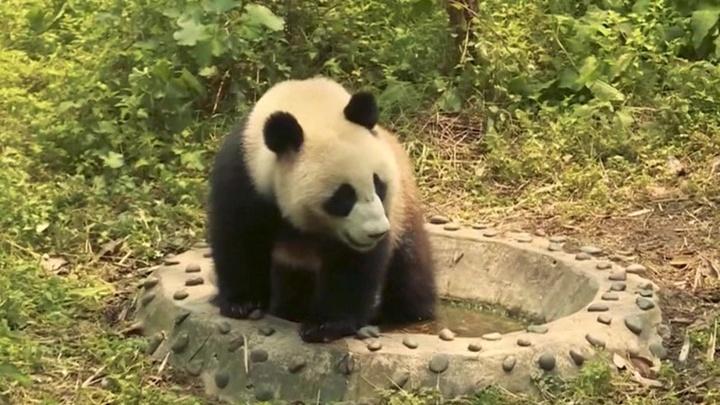 Путин и Си передадут Московскому зоопарку двух панд
