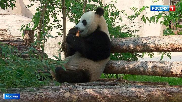 Панды из Китая обживаются в Московском зоопарке