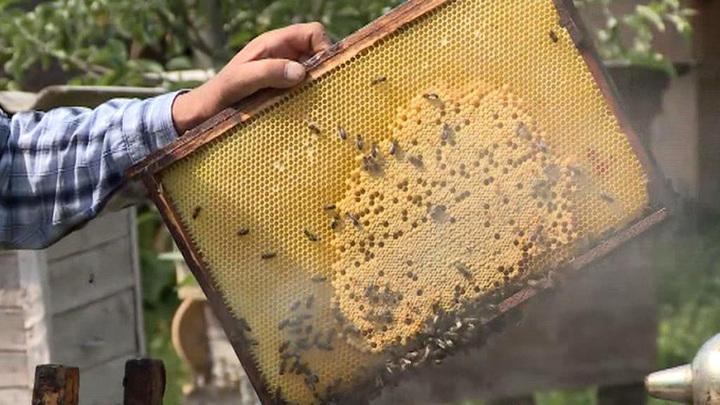Яд с полей. Эксперты объяснили массовую гибель пчел