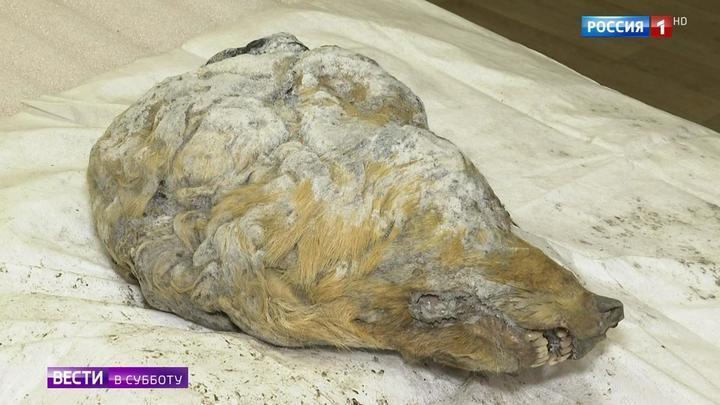 Нашли голову с мозгом: ученые попробуют вывести волка, жившего 42 тысячи лет назад