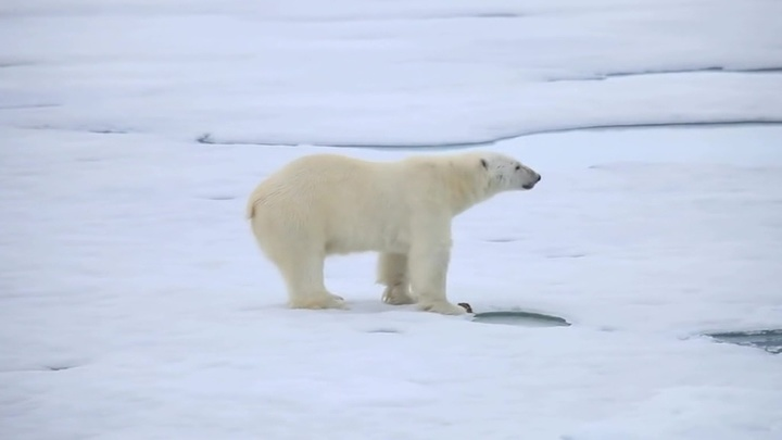 Редкий случай: белый медведь в Норильске