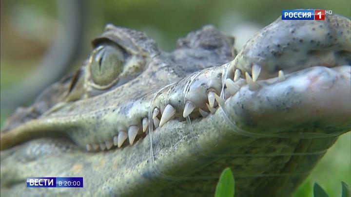 Крокодил на поводке: необычный питомец напугал жителей Москвы