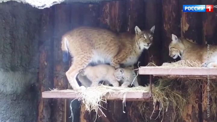 У посетителей зоопарка появилась возможность увидеть маленьких рысят