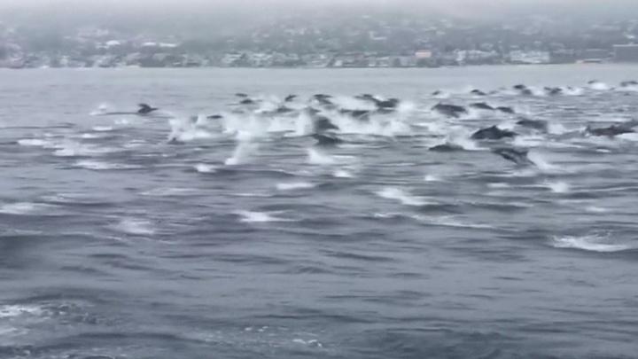 Более 100 дельфинов устроили заплыв в бухте Лагуна Бич в Калифорнии