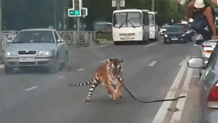 Полосатый рейс в Иванове: вырвавшийся тигр пробежался по проезжей части