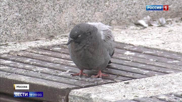 В Москве массово погибают голуби: неизвестные травят птиц ядом