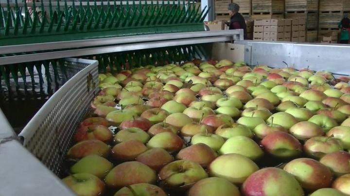 В России отменен запрет на белорусские яблоки