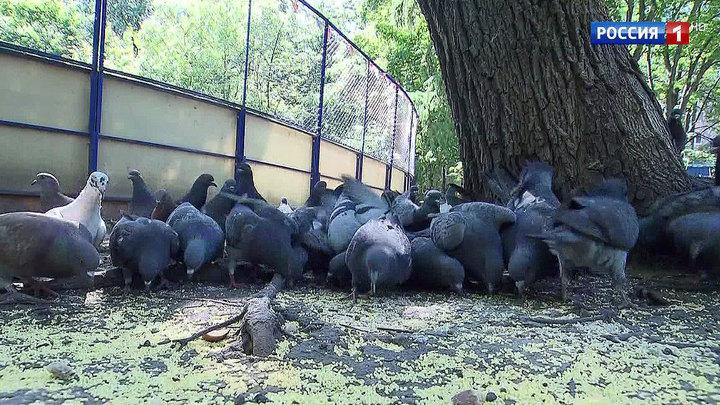 Столичных голубей предлагают посадить на диету