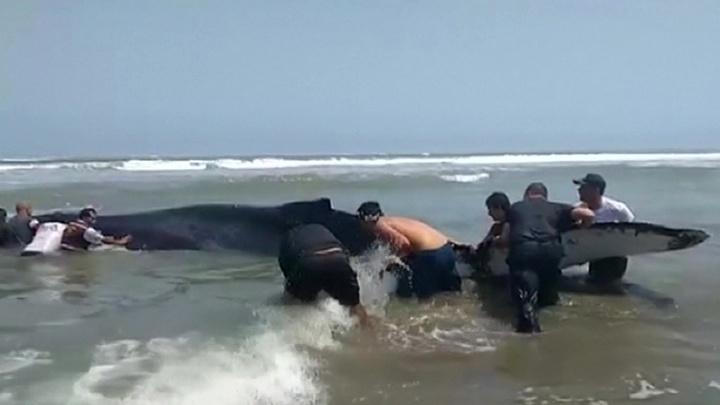 Жители Перу спасли выброшенного на берег кита