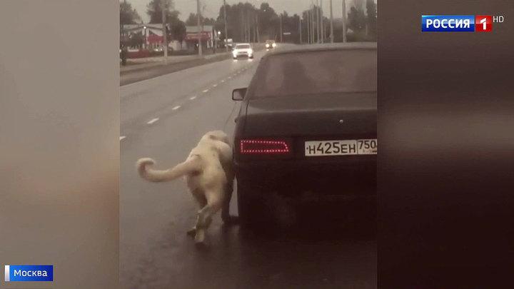 Москвичи спасли собаку от живодера, привязавшего ее к движущейся машине
