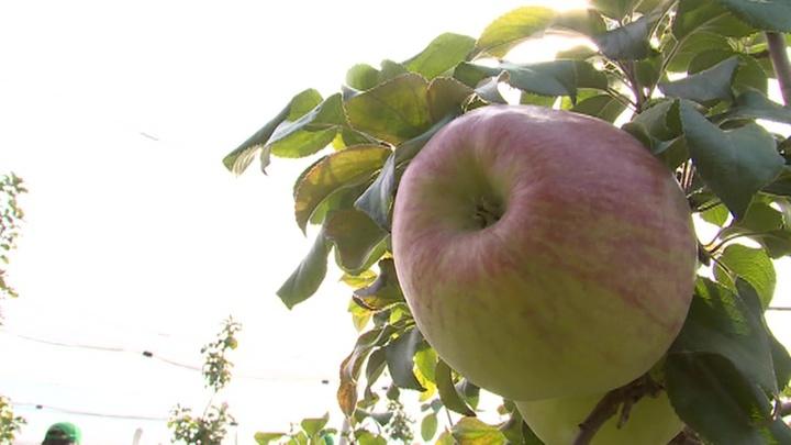 Яблочный Спас: православные отмечают Преображение