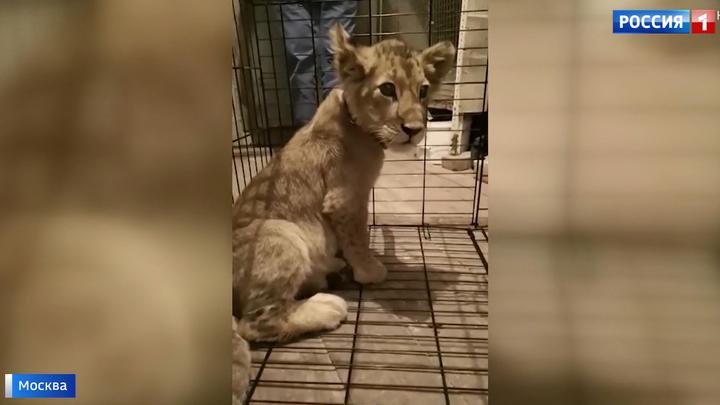 В одном из гаражей в центре Москвы обнаружили львенка