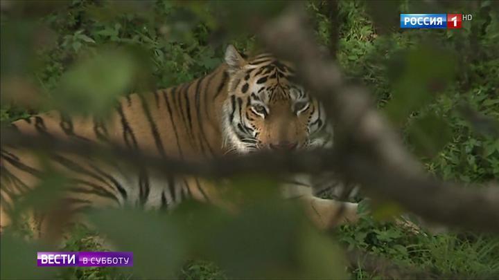 Карнавал в полоску: Приморье отметило День тигра