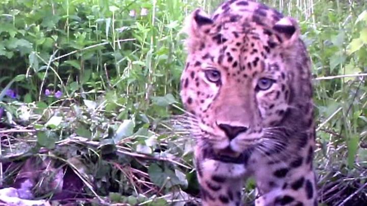 """""""Земля леопарда"""": камеры раскрыли секреты приморских хищников"""