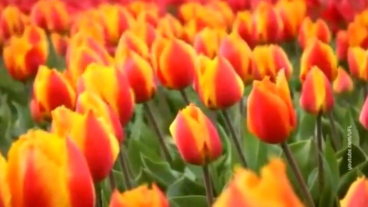 Одна луковица из сотни: в Амстердаме раскрыли массовый обман туристов
