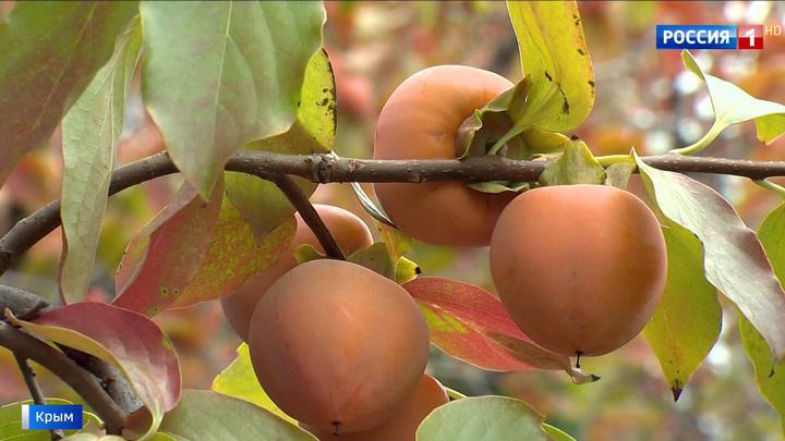 Все ради науки: в Крыму собирают урожай маслин
