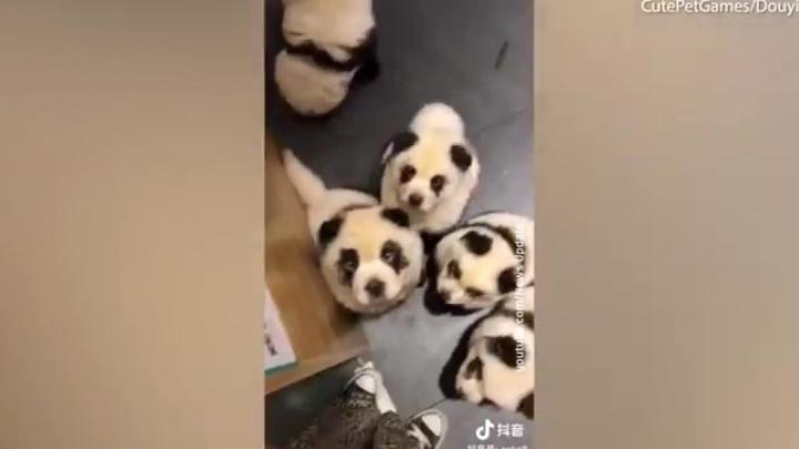 В китайском кафе покрашенных собак выдавали за панд