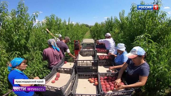 Кубань: рекордный урожай и главный каравай