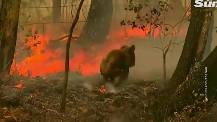 В Австралии из-за лесных пожаров погибли сотни коал